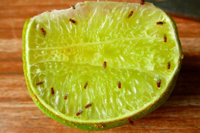 Fruchtfliegen: So werden Sie die Plage los
